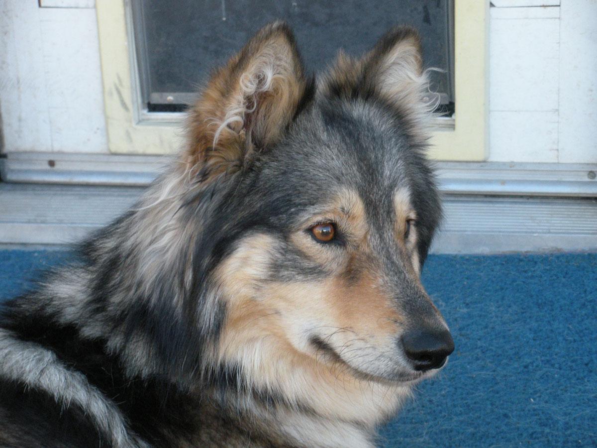 Keeshond Malamute Mix Of mixed breed dogs.