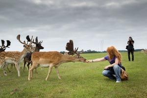 Wild deer.