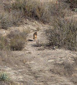 coyote adventure trotting away