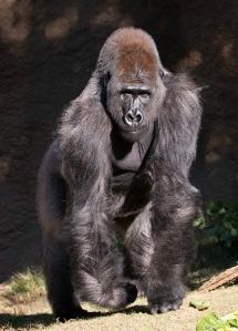 gorilla L.A. Zoo