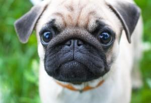 Pug stare at camera
