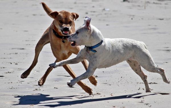 dog bully pixabay