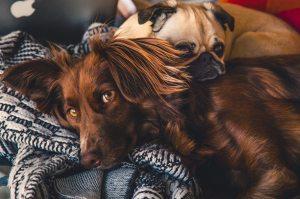 brown setter pug