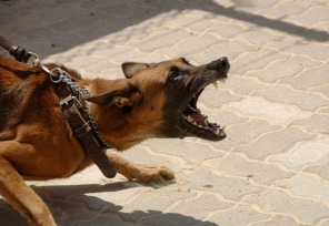 aggressive dog on leash malinois edited