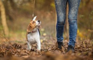 Girl walking her Beagle Dog