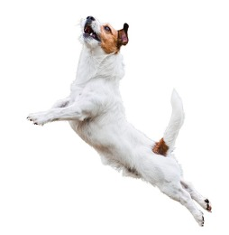 Dog agility: terrier jumping and flying high