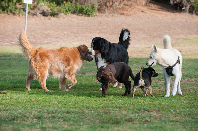 Group of dogs at park smelling each other.