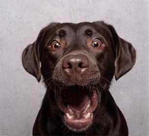 Lustiger Labrador