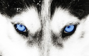 Close-up shot of a husky dog's blue eyes